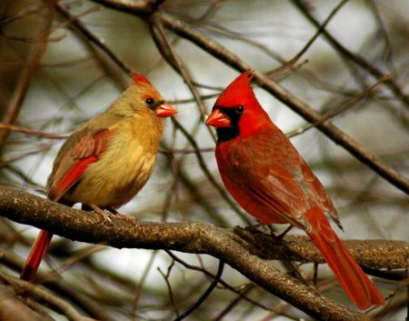 MALE AND FEMALE CARDINALS